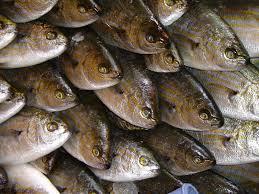 میش ماهی جنوب کشور
