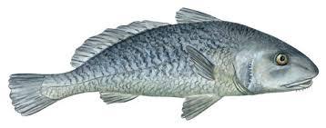 قیمت انواع ماهی جنوب شوریده
